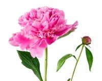 Roze pioen Stock Afbeeldingen