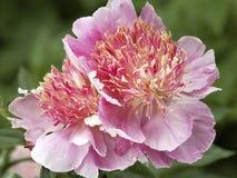Roze pioen royalty-vrije stock afbeeldingen