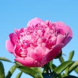 Roze pioen Stock Foto