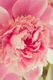 Roze Pioen Stock Fotografie