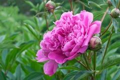 Roze Pioen Royalty-vrije Stock Foto's