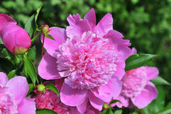 Roze pioen royalty-vrije stock foto