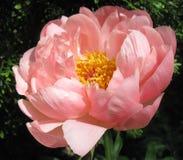 Roze pioen die de zon onder ogen zien Royalty-vrije Stock Foto