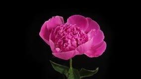 Roze pioen die op zwarte achtergrond bloeien stock video