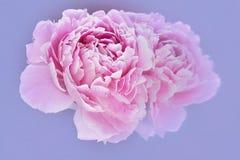 Roze pioen en bezinning over lichtblauwe achtergrond Royalty-vrije Stock Afbeelding