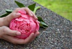 Roze pioen in handen royalty-vrije stock afbeeldingen