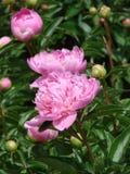 Roze Pioen in tuin. Stock Afbeeldingen
