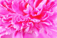 Roze pioen, zachte nadruk Stock Foto's