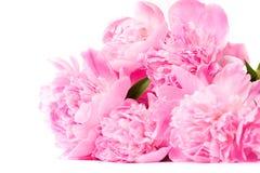 Roze pioenbloem Stock Afbeelding