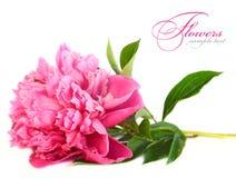 Roze pioenbloem Royalty-vrije Stock Afbeelding