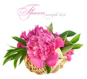 Roze pioenbloem Stock Fotografie