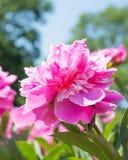 Roze pioenbloem stock foto's