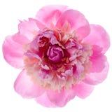 Roze pioenbloem Stock Afbeeldingen