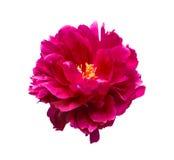 Roze pioenbloem die op witte achtergrond wordt geïsoleerd Stock Foto