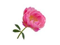 Roze pioenbloem die op witte achtergrond wordt geïsoleerd Royalty-vrije Stock Afbeeldingen