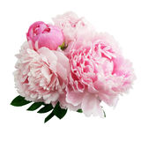 Roze pioenbloem die op witte achtergrond wordt geïsoleerd stock afbeeldingen