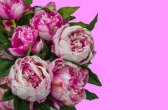 Roze pioenbloemen royalty-vrije stock foto's