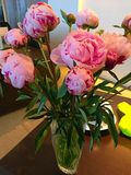 Roze pioenen Stock Afbeelding