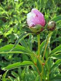 Roze pioenen in de tuin Bloeiende roze pioen Close-up van mooie roze Peonie-bloem Stock Fotografie