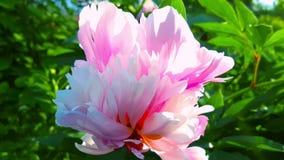 Roze pioenen in de tuin Langzame Motie stock videobeelden