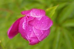 Roze pioenknop in dalingen van regen royalty-vrije stock afbeeldingen