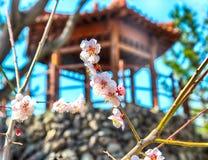 Roze Plum Blooming in het Dorp van Wondong Maehwa, Yangsan, Zuid-Korea, Azië royalty-vrije stock afbeelding