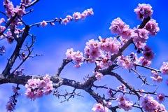 Roze Plum Blooming in het Dorp van Wondong Maehwa, Yangsan, Zuid-Korea, Azië royalty-vrije stock foto