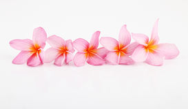 Roze Plumeria Stock Foto's
