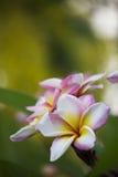Roze Plumeria royalty-vrije stock afbeeldingen