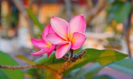 Roze Plumeria Stock Fotografie