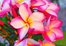 Roze Plumeria Royalty-vrije Stock Foto