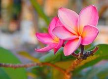 Roze Plumeria Royalty-vrije Stock Afbeelding