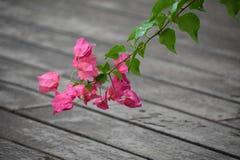 Roze Plumeria-Bloei en groene bladeren Stock Foto