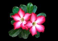 Roze Plumeria-Bloemen op Zwarte Achtergrond Stock Fotografie