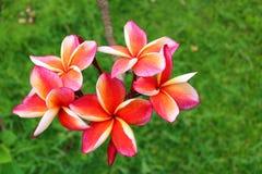 Roze Plumeria in de tuin Royalty-vrije Stock Afbeelding
