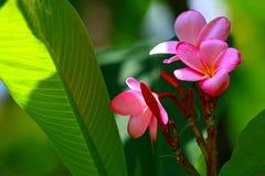 Roze Plumeria en Bladeren Stock Afbeeldingen
