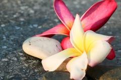 Roze plumeria en wit aan achtergrond 539 Royalty-vrije Stock Fotografie