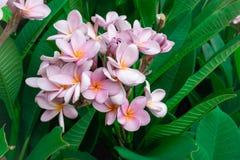 Roze plumeria met groen blad stock foto's