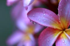 Roze plumeria met regendruppels en zachte achtergrond Stock Afbeeldingen