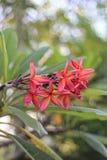 Roze plumeria op de plumeriaboom, frangipani tropische bloemen Stock Afbeeldingen