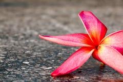 Roze plumeriaachtergrond 503 Stock Afbeeldingen