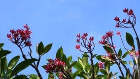 Roze plumeriabloem op de boom Tropische tuin op het eiland van Bali, Indonesië stock videobeelden