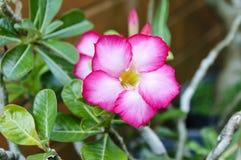 Roze plumeriabloem in tuin Royalty-vrije Stock Foto's