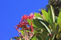 Roze plumeriabloemen stock foto