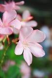 Roze Plumerias Stock Foto's
