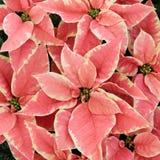Roze Poinsettiabloemen Stock Afbeeldingen