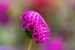 Roze Pom Pom Dahlia Royalty-vrije Stock Afbeeldingen