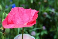 Roze Poppy Flower in Bloei Royalty-vrije Stock Foto