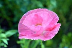 Roze Poppy Flower in Bloei Stock Foto's