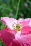 Roze Poppy Flower in Bloei Royalty-vrije Stock Afbeeldingen
